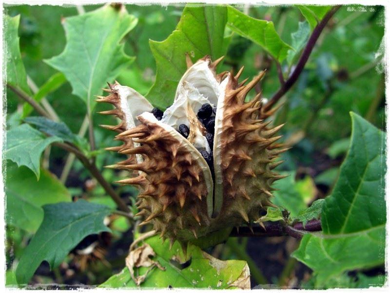Ядовитые и опасные растения
