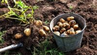 Молодой да ранний картофель