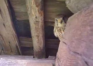 сокол хищная птица