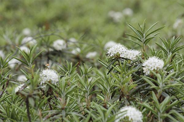 Описание лекарственного растения багульник болотный: лечебные свойства, применение, рецепты