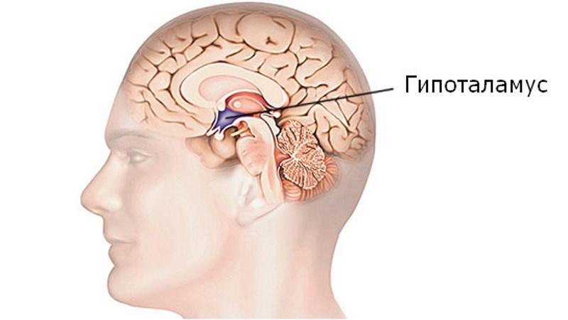 За что отвечает гипоталамус, Важный отдел головного мозга гипоталамус.