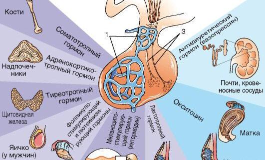 Что такое гормоны. За что отвечают гормоны. Как гормоны влияют на человека.