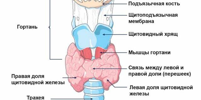Щитовидная железа: норма, гормоны, симптомы заболевания, диагностика и лечение