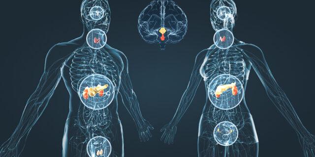Связь эндокринной системы с другими органами человека