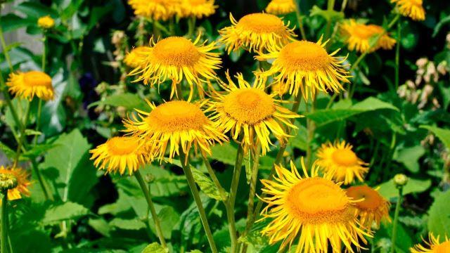 Лекарственное растение девясил высокий (INULA HELENIUM)