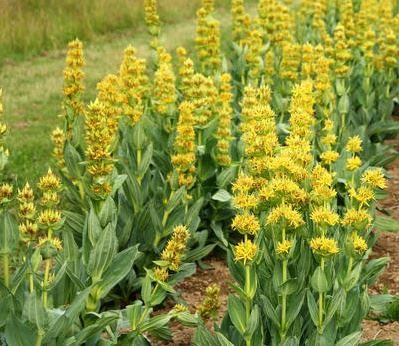 Лекарственное растение горечавка желтая (CENTIANA LUTEA)