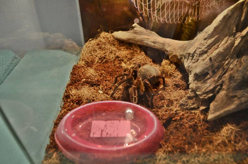 выставка пауков гигантов йошкар-ола гоголя 15