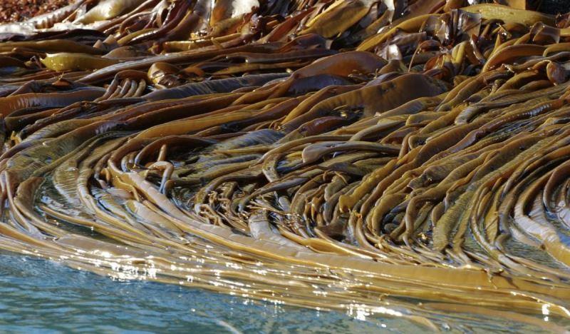 Чем полезна морская капуста для человека